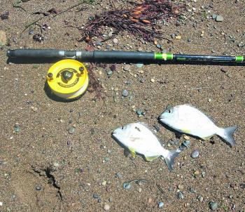 This double header of tarwhine was caught fishing off Coalcliff beach on beach worms.