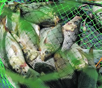 Carp numbers have boomed along the Murray and it's nothing to catch twenty or more each time you lift a yabby net.