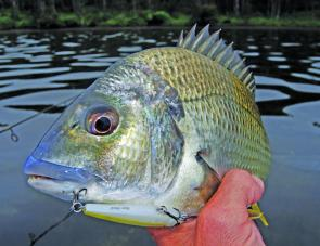 February is probably the very best month for Central Coast bream on surface lures.