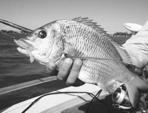 Feeding bream cannot resist an unweighted Ecogear Grass Minnow.