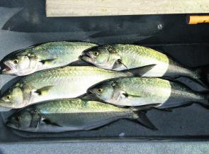 A few tailor should be zooming around our estuaries this month. I kept these in the livewell for a nice feed later on.