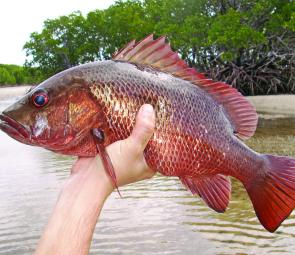 This excellent mangrove jack was caught from the shore. Quality fish can be caught from the mainland.