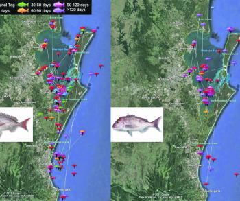 These maps show snapper movements throughout the bay.