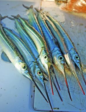 Garfish are easily identified by their slender profile and beak type lower jaw.