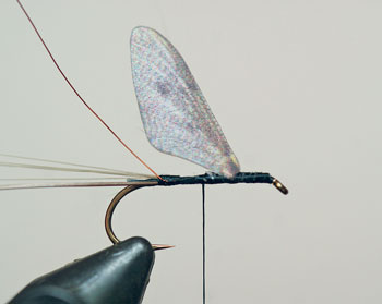 Tie in the 3 Hemingway mayfly wing as shown.