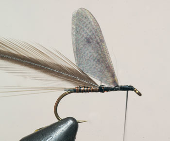 Now wind on the herl to form the body, followed by the rib and tie in behind the wing. Tie in your honey dun saddle feather.