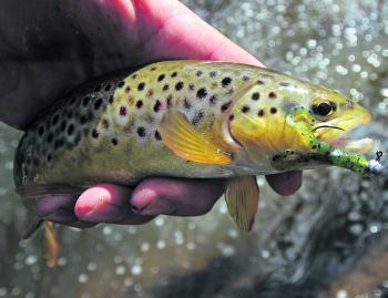 Look at the pretty colours on this brown trout, caught on a Strike Tiger Froglet soft plastic. As the water cools down in April, I will be doing a lot more trout fishing in the Ovens River catchment.