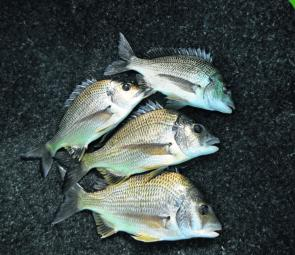 A good bag of Lake Macquarie bream. These all fell to a gold Samaki blade.
