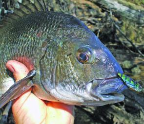 This bream was one of the first I caught on a blade four years ago.