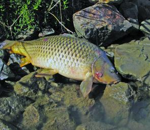 Huge carp are less rewarding but will test your best knots, Rods and reels will also get a real work over.