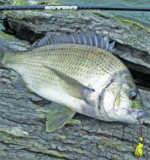 Schooling bream in deep water can yield impressive tallies.