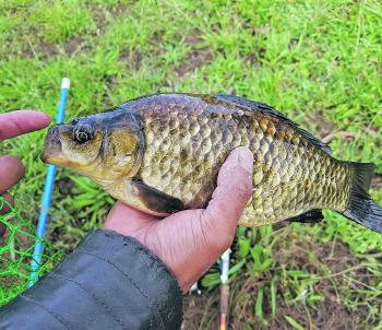 A less commonly seen crucian carp caught on bait recently from Karkarook Park.