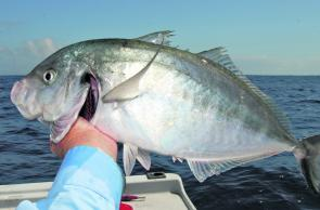 Silver trevally will be plentiful along the coast this month. Fish this size are a bonus.