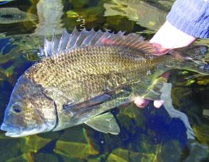 The Derwent is the bream capital of the Universe in summer with plenty of fat fish on the shallow shores.