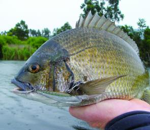 Large jerkbait style hardbodies are a good option when the bream sit deeper during the day.