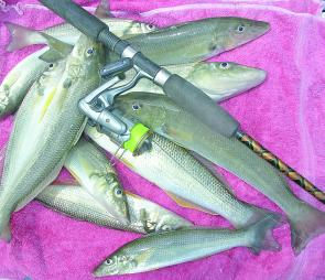 Whiting are in good numbers in the estuaries and there are also a few along the beaches.