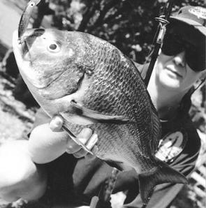 One of the many large bream from Dignams Creek, Wallaga Lake.