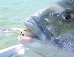Hard minnows work well in Lake Macquarie for bream and, at this time of year, maybe some more exotic fish as well.