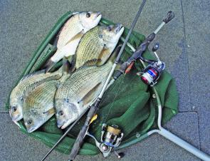 Bream like these will be common this month. These fish were returned to the water.