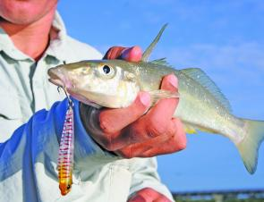 Whiting should be plentiful at such spots as Lake Cathie and the flats opposite the Port Macquarie Town Green.