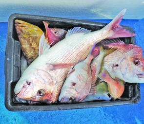 As tasty a tub of bottom fish as you're likely to see off Evans Head: snapper, teraglin, maori cod, and tuskfish. These came from Mick McGillivray's Evans Head Deep Sea Charters.