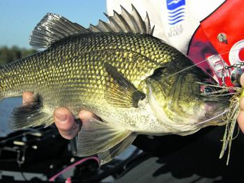 Aussie bass were the catalyst for early spinnerbait uptake in Australia.