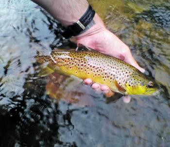A great Grampians brown going back for another angler to catch.