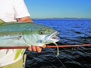 Some big kingfish have been taking soft plastics, especially around Broken Bay Wide.