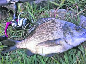 A purely freshwater existence doesn't seem to have negatively effected the Merri bream, by the looks of this one's belly.