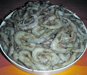 Prawns have been a popular target for Fraser Coast anglers.