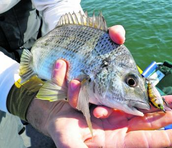 An Atomic HardZ shallow diving minnow brought this bream undone.