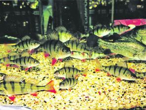 Where regulations allow, redfin make excellent aquarium fish.