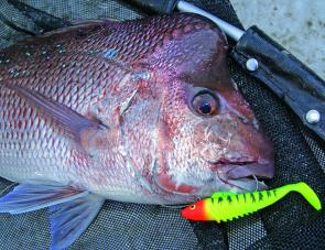 Some good reds have moved into the close country. Start looking for reefs in 15m to 25m depths for fish like this 5kg snapper.