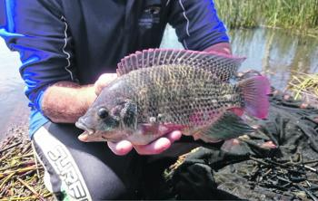 The one continuous and pointed dorsal fin and pointed anal fin are distinguishing tilapia identification features. Photo courtesy of NSW Department of Primary Industries.