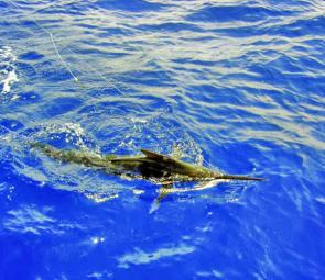 This little marlin grabbed a livie aimed at an amberjack.