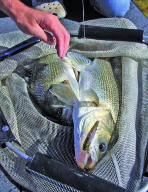 A Jackall Mask hopped across the bottom brought about the undoing of many of the bigger fish.