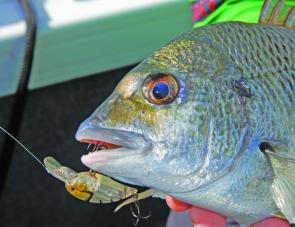 The Austackle Sakana is at the budget-end of bream hardbodies, but the fish don't seem to mind!