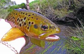 Some great trout are available in the Moorabool Photo courtesy R.Virt.