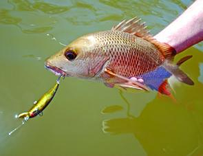 The popular mangrove jack will now have a size limit of 35cm and a bag limit of 5. I would love to have seen a limit of 2.