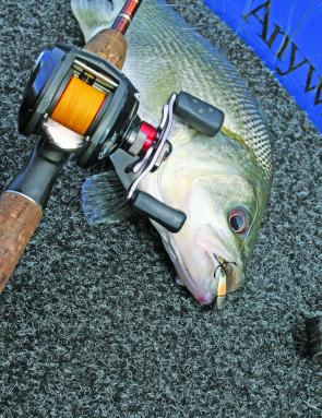 Although they've seen them a million times, the TN60 Jackall lipless crankbait is still one of the best to tempt shallower holding bass.