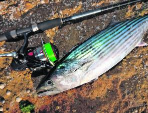 Bonito are available from January to the end of May. The lighthouse platform is the best place to cast lures or whole pillies for them.