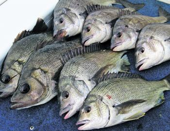 A few livewell kept bream and EPs prior to release.