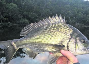 Bream are in prime condition this time of year.