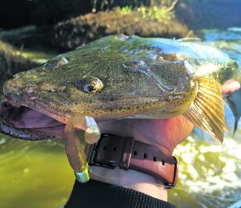 Flathead can easily be fooled in dirty water using a ZMan 2.5