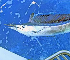 Chris Cherry's first billfish was this spear chucker – the second-rarest billfish species in our waters.