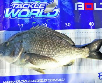 Big brute bream over 45cm are showing up in the shallows near Loch Sport and the Mitchell River flats.
