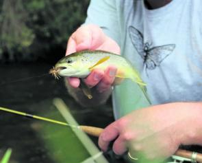 Smaller trout are still abut in the denser creeks.