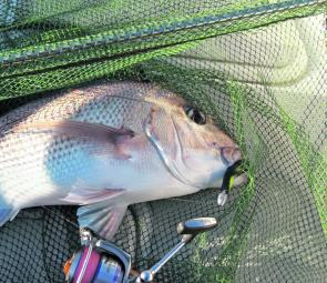 When the conditions have allowed, the inshore snapper have been co-operative.