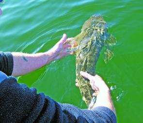 Releasing the breeding females is a responsible step now accepted by most recreational anglers.