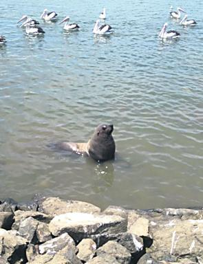 A seal waits for a free meal at Inverloch jetty.